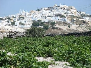 Santorini vinsanto red wine grapes