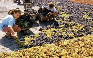 Grape drying to make Vinsanto red wine for our red wine scrub soaps.